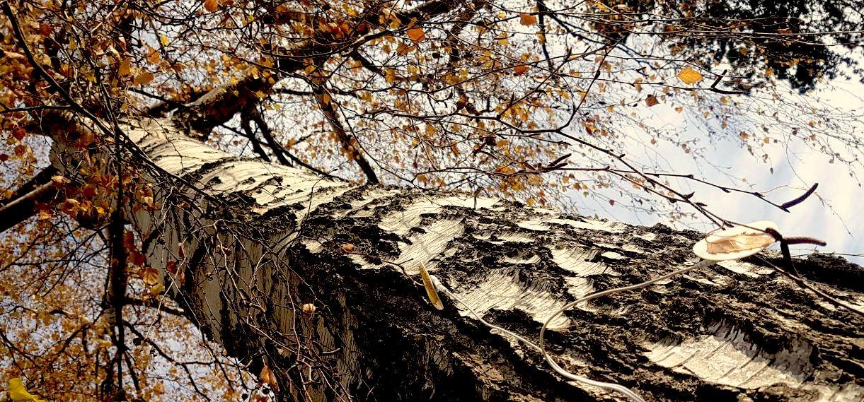 birch tree with electropads